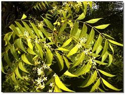 natural neem healing
