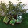 Neem Trees (Azadirachta Indica Au Jus)